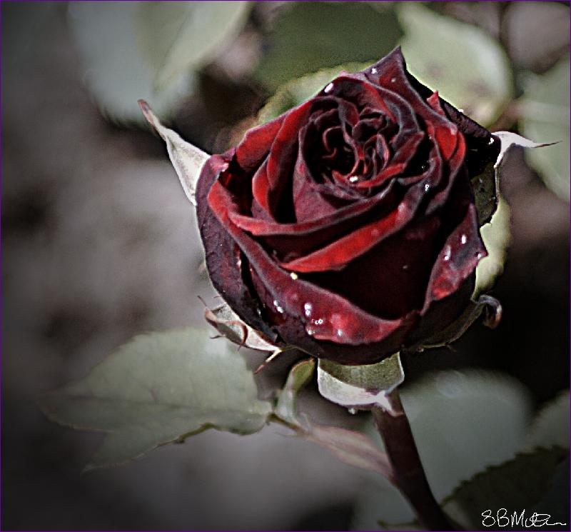 Black Rose: Photograph by Steve Milner
